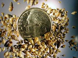Up to 50 New Zealand mud snails can fit on a dime due to their maximum size of 1/8 inch